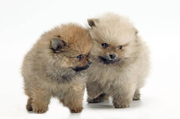 Wall Art - Photograph - Pomeranian Puppy Dogs by Jean-Michel Labat
