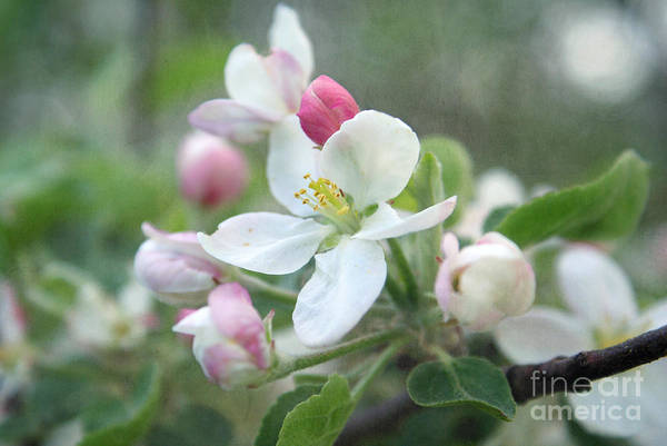 Apple Blossom Photograph - Pomme D Api 01 - S01bt01c by Variance Collections