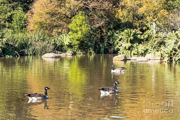 Photograph - Pond Geese by Kate Brown