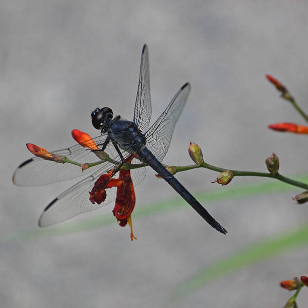 Summertime Wall Art - Photograph - Pond Skimmer by Suzanne Gaff