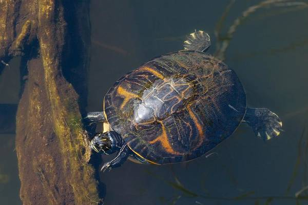 Tortoise Shell Photograph - Pond Slider Turtle by Rudy Umans