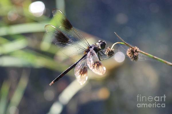 Photograph - Pond Sparkler - Brown Dragonfly by Carol Groenen