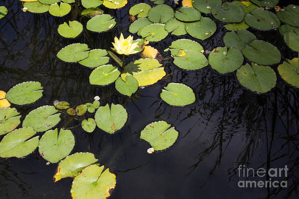 Wall Art - Photograph - Pond With Lily Pads by Suzanne Luft