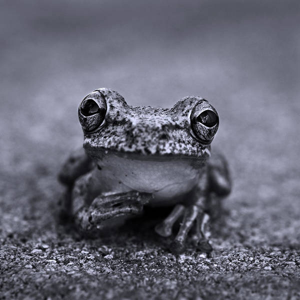 Amphibians Photograph - Pondering Frog Bw by Laura Fasulo