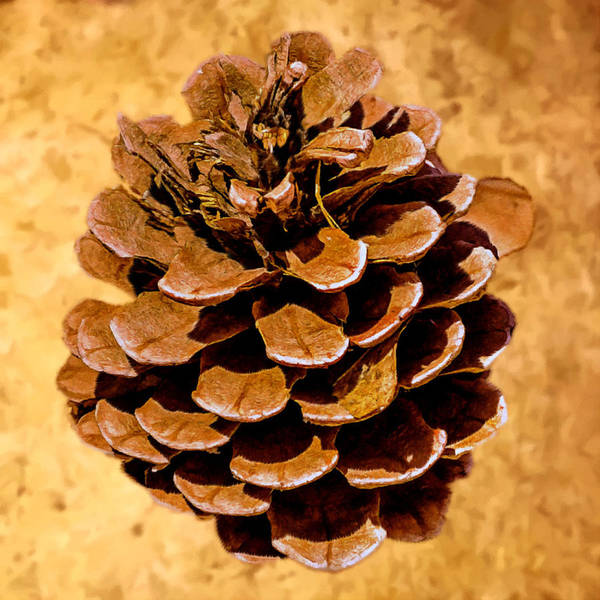 Painting - Ponderosa Pine Cone Painting by Bob and Nadine Johnston