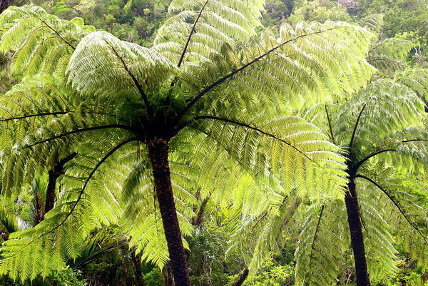 Photograph - Ponga Tree Fern Canopy, New Zealand by Lazingbee