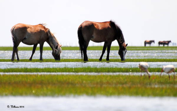 Photograph - Ponies Feeding On The Island by Dan Williams
