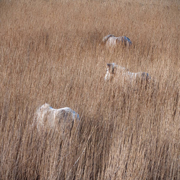 Eriskay Wall Art - Photograph - Ponies In The Reeds by Mitch McFarlane
