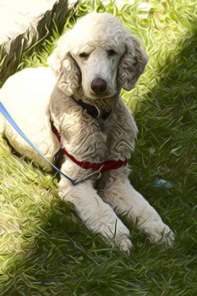 Photograph - Poodle In The Shade by Alice Gipson