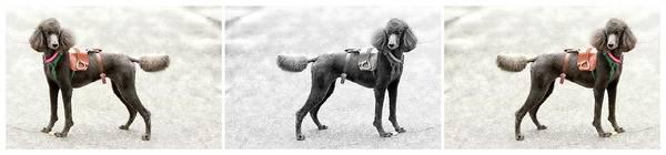 Photograph - Poodle Jockey Triptych by Alice Gipson