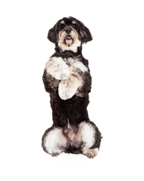 Crossbreed Wall Art - Photograph - Poodle Mix Breed Dog Begging by Susan Schmitz
