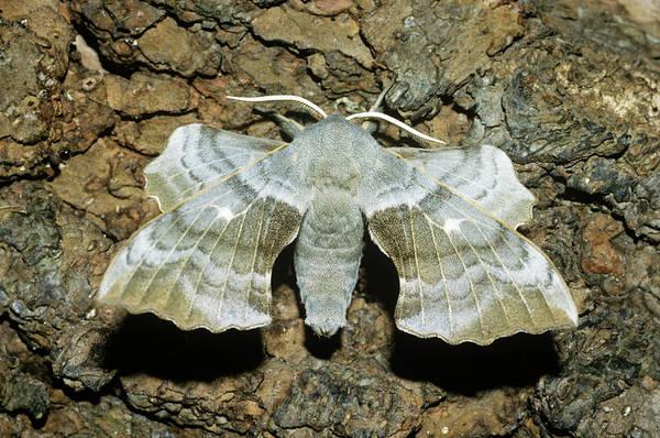 Wall Art - Photograph - Poplar Hawk Moth by Tony Wood/science Photo Library