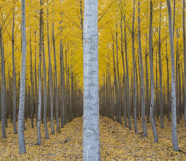 Wall Art - Photograph - Poplar Plantation In Autumn by John Shaw