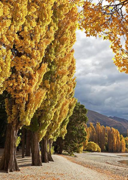 Lakes Region Photograph - Poplars At Lake Wanaka, Otago, New by Australian Scenics