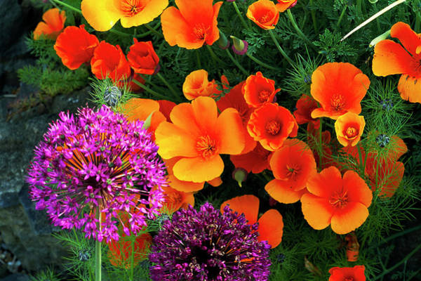 Sensation Photograph - Poppies And Alliums by Anthony Cooper/science Photo Library