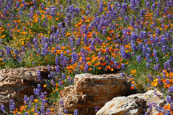 Figueroa Mountain Photograph - Poppies And Lupines On The Rocks by Lynn Bauer