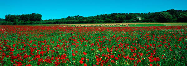Peacefulness Photograph - Poppies And Sheep In A Field by Panoramic Images