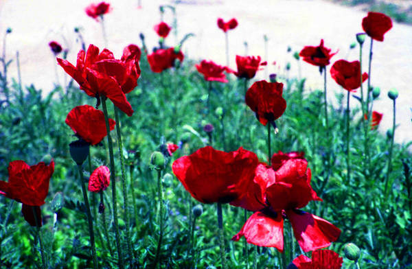 Photograph - Poppies by Emanuel Tanjala