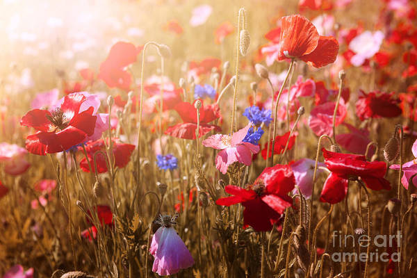 Photograph - Poppies In Sunshine by Elena Elisseeva