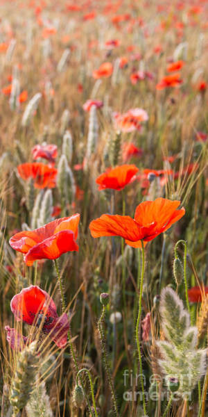 Photograph - Poppies In The Morning Sun by Hannes Cmarits