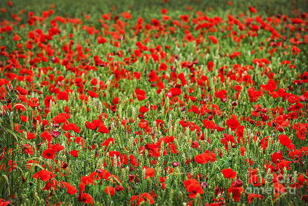 Wall Art - Photograph - Poppies In Wheat by Elena Elisseeva