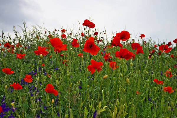 Photograph - Poppies by Ivan Slosar