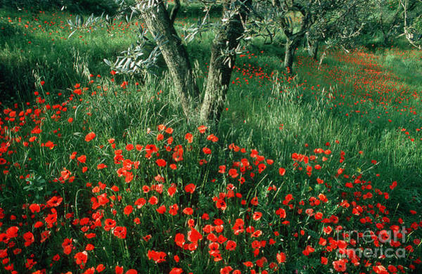 Vegetal Photograph - Poppies by James L. Amos