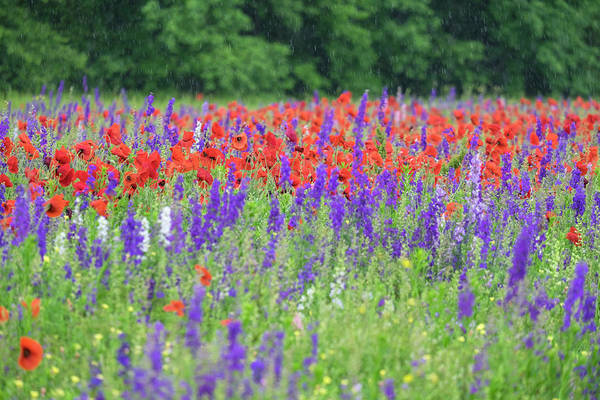 Campanulaceae Photograph - Poppies On Field, Mount Olive, North by Lisa S. Engelbrecht