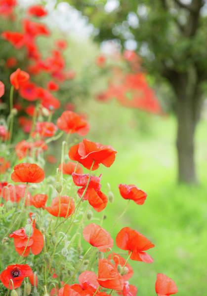 Berwick Upon Tweed Photograph - Poppies by Peter Chadwick Lrps