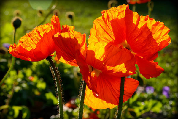 Photograph - Popping Orange by Jenny Setchell