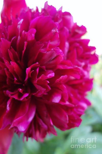 Photograph - Popping Peony #1 by Jacqueline Athmann