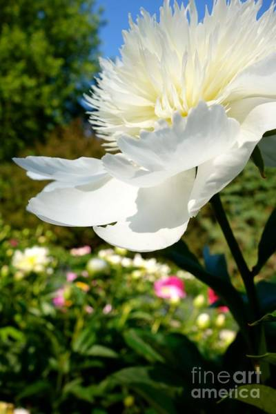 Photograph - Popping Peony #3 by Jacqueline Athmann