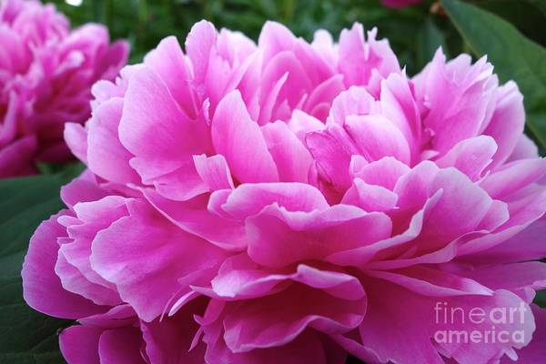 Photograph - Popping Peony #4 by Jacqueline Athmann