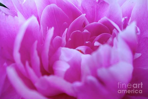 Photograph - Popping Peony #5 by Jacqueline Athmann