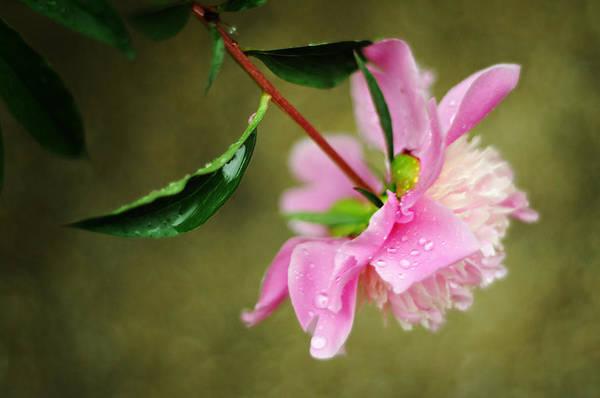 Photograph - Poppops Pink Peony by Rebecca Sherman