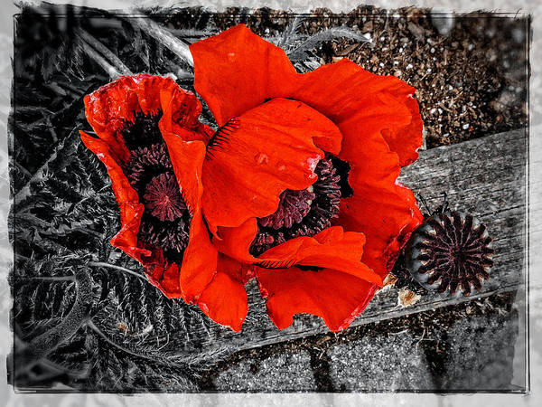 Photograph - Poppy Art 5 by Roxy Hurtubise