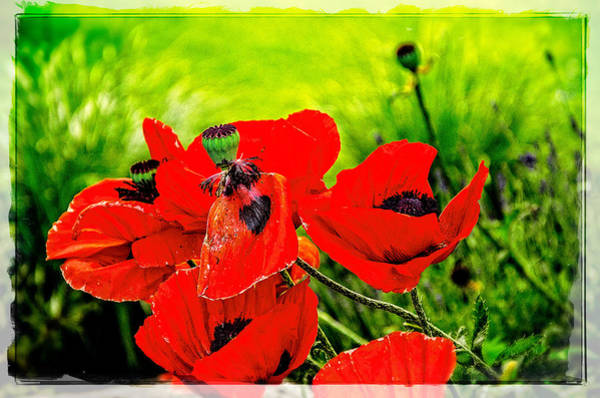 Photograph - Poppy Art 7 by Roxy Hurtubise