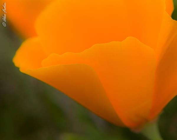 Photograph - Poppy Blossom by Alexander Fedin