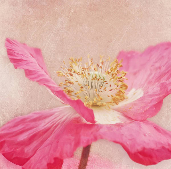 Wall Art - Photograph - Poppy Dance by Kim Hojnacki