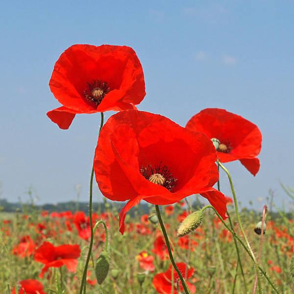 Battle Field Photograph - Poppy Fields 4 by Gill Billington