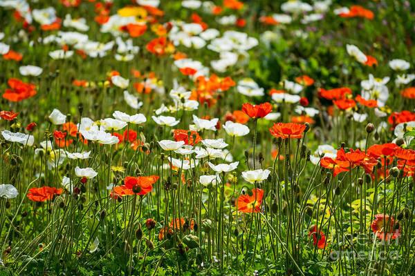 Wall Art - Photograph - Poppy Fields - Beautiful Field Of Spring Poppy Flowers In Bloom. by Jamie Pham