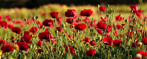 Photograph - Poppy Fields Forever by Uri Baruch