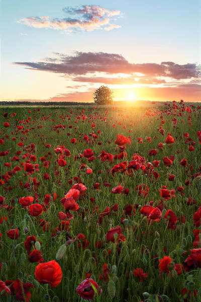 Poppy Fields Of Sweden Art Print by Christian Lindsten