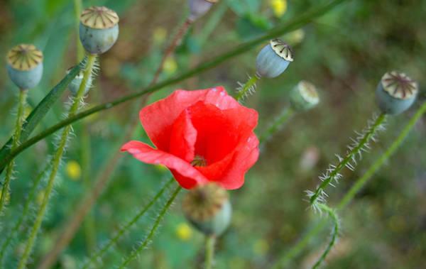 Poppies Digital Art - Poppy Flower by Gina Dsgn