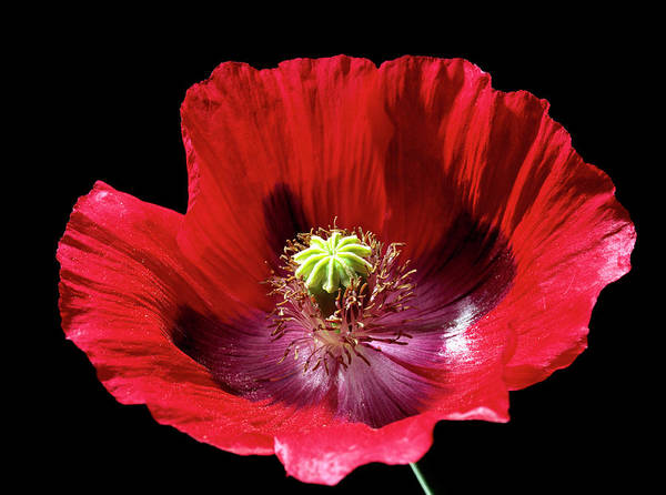 Carpel Photograph - Poppy Flower by Sheila Terry/science Photo Library