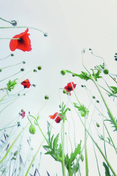 Photograph - Poppy Flowers Against Blue Sky by Silvia Otte