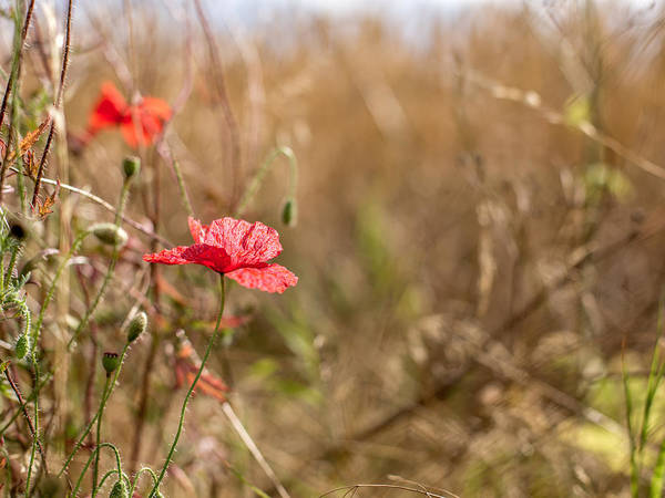 Photograph - Poppy. by Gary Gillette