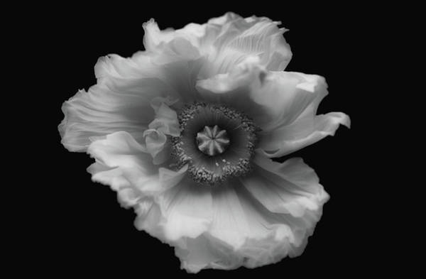 Macro Photograph - Poppy In Mono by Lotte Gr??nkj??r