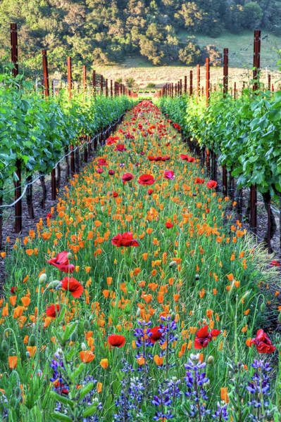 Sunlight Photograph - Poppy Lined Vineyard by Rmb Images / Photography By Robert Bowman