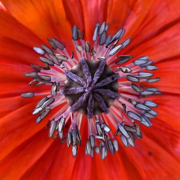 Photograph - Poppy - Macro by Marianna Mills